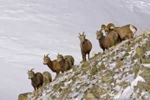 Powder and Bighorns