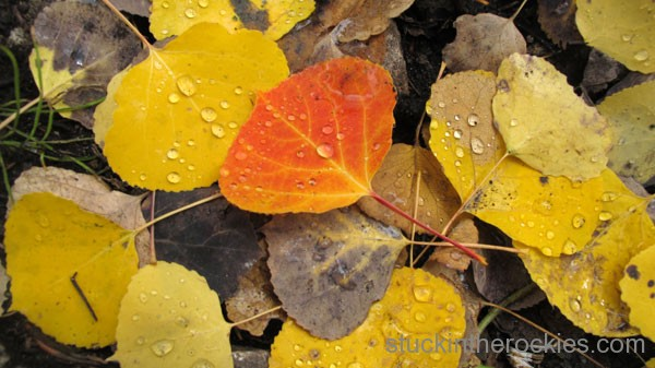 red aspen leaf