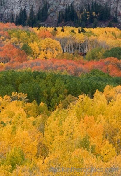 Kebler Pass Aspen trees