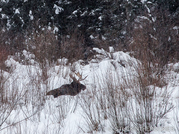 Moose in Castle Creek Valley