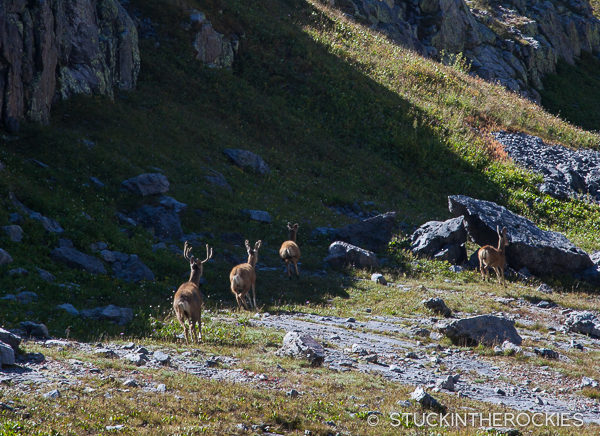 Deer in the Weminuche Wilderness