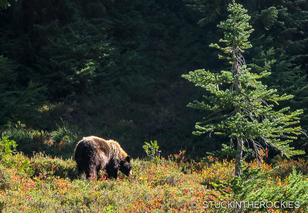 Bears in Spray Park on the Wonderland Trail