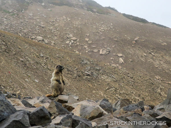 Hoary Marmot on the Wonderland Trail
