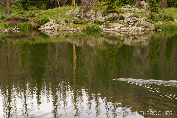 A curious beaver swimming in Cotton Lake.