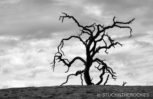 An old gnarled Juniper tree.